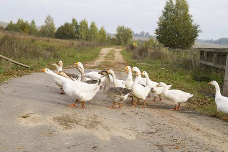 geese: Domestic geese rush to the lake