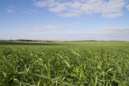 winter wheat: winter wheat field