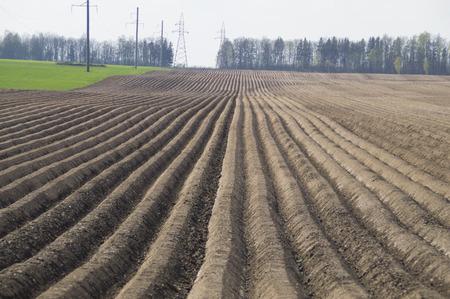long bean: Neat rows of potato field Stock Photo