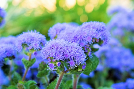 Ageratum beautiful flowers in the flowerbed Stock Photo