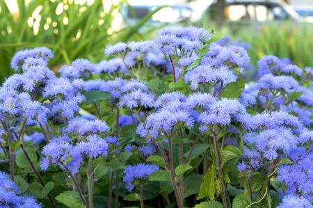 花壇に花の美しいカッコウアザミ