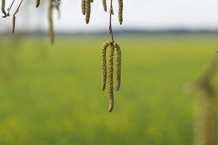 Birch earrings on yellow background