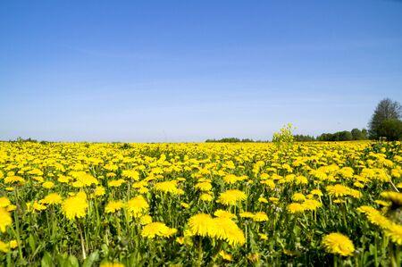 grass close up: field of dandelions