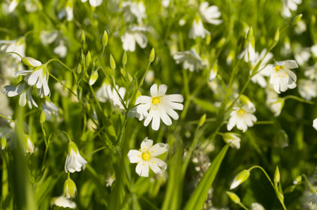 a lot of white flowers in a forest glade