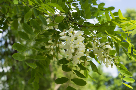 pictured flowers acacia on a background of blue sky