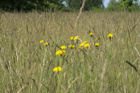 Yellow dandelions in the tall grass in the meadow stock photo stock photo yellow dandelions in the tall grass in the meadow mightylinksfo
