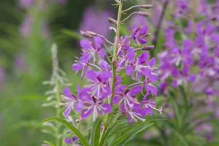 beautiful plant Ivan-tea (Epilobium angustifolium)