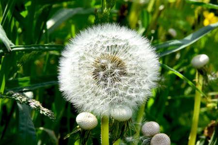 White dandelion cap on a green background
