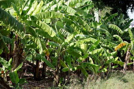 Many banana tree in the banana garden