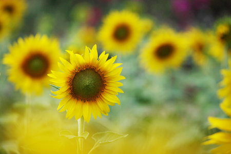 Sunflower close up in the field