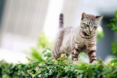 Lovely gray cat walking at outdoor