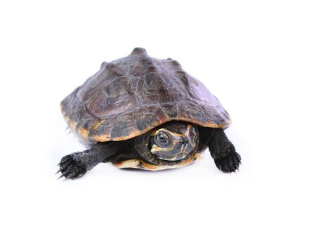toed: Turtle on a white background