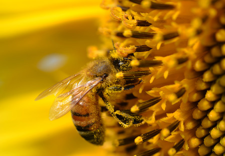 Honey Bee on Yellow Flower Stock Photo