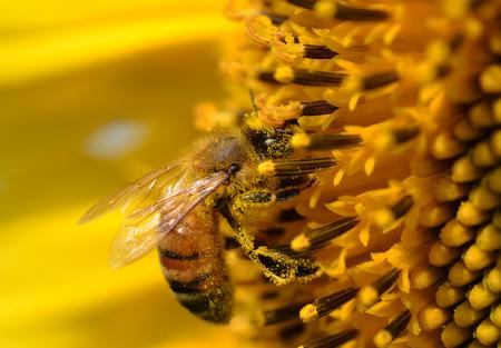 Honey Bee on Yellow Flower Standard-Bild