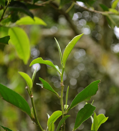 environmen: fresh tea leaves in morning sunlight