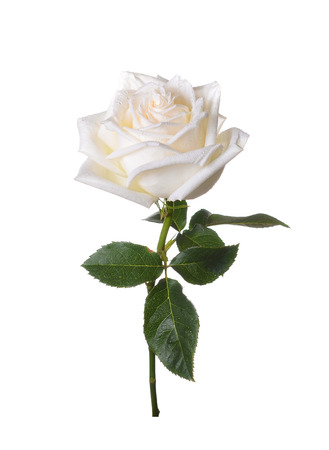 White rose on a white background. Stock Photo - 37772840