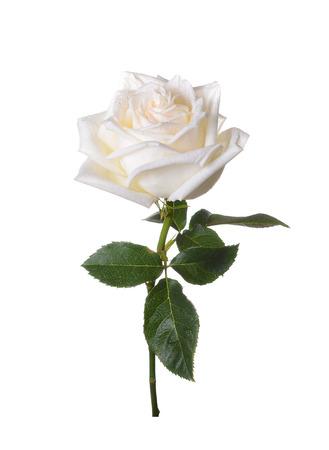 rosas blancas: White subi� sobre un fondo blanco.