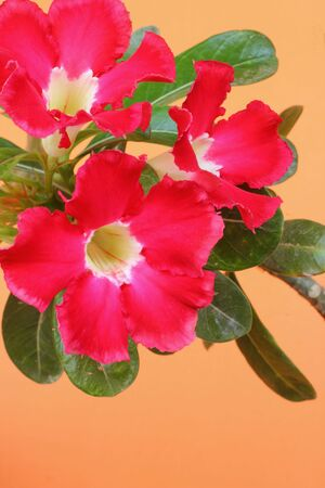 Desert rose Stock Photo - 16303580