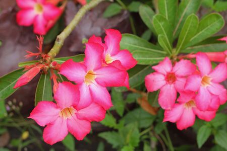 Desert rose Stock Photo - 16418137