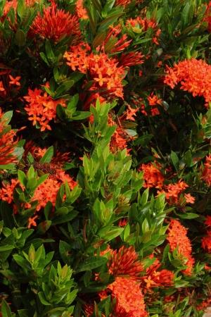 stamin: Rubiaceae