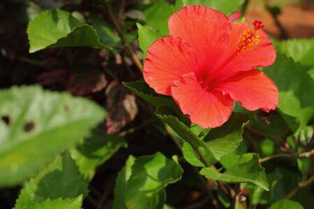 malvaceae: Malvaceae