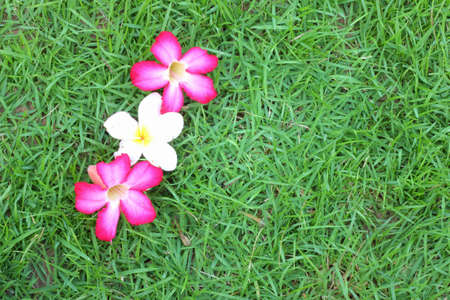 Pink and white flowers on the green grass  photo