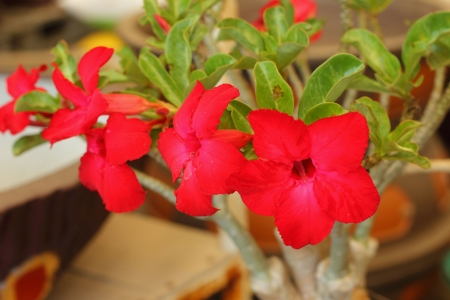 Desert rose Stock Photo - 17082408