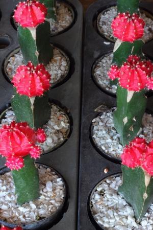 Cactaceae Stock Photo - 17082357