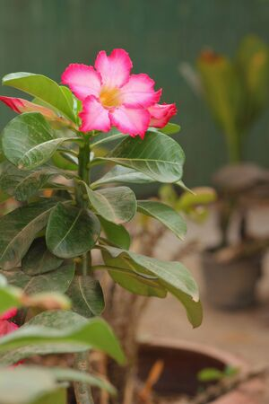 Desert rose Stock Photo - 17192217