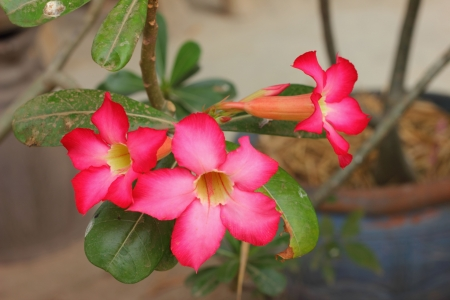 Desert rose photo