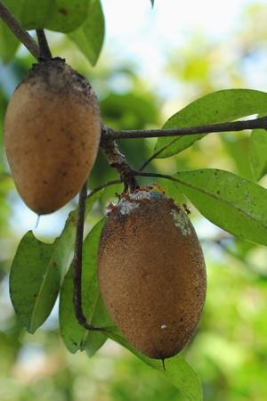 Sadella fruit
