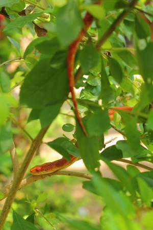 slithering: Red snake slithering on a tree  Stock Photo