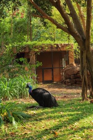 cassowary: Casuaries