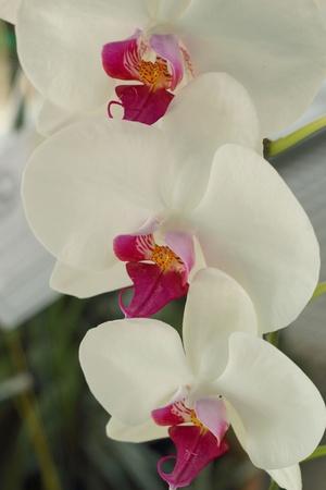 vanda: Orchid vanda - white flowers