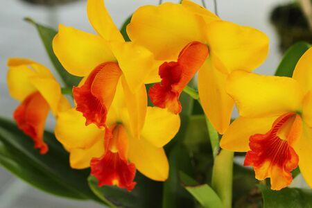 cattleya: Cattleya orchids  Stock Photo