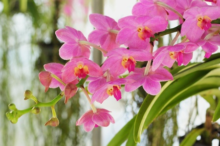 vanda: Orchid pink - pink flowers