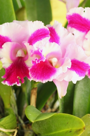 Cattleya orchids  photo