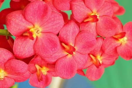 vanda: Orchid vanda - red flowers