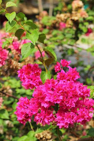 Flowering bougainvillea. photo
