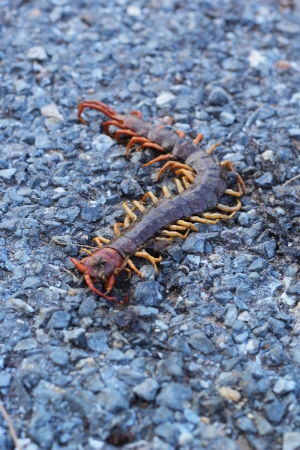 Centipede - on the road. photo