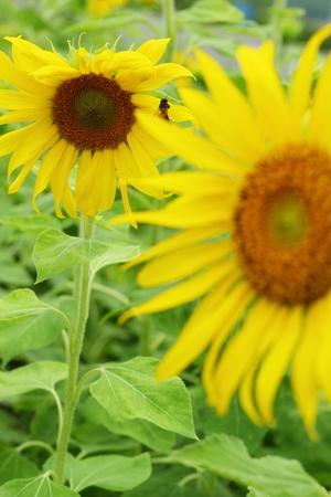 Sunflower - yellow flower. photo