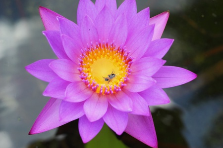 Purple Lotus - purple flowers  photo