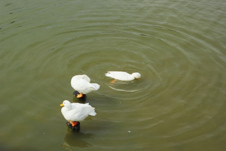 ugly duckling: Flock of white swan swimming. Stock Photo