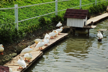ugly duckling: White swan flock. Stock Photo