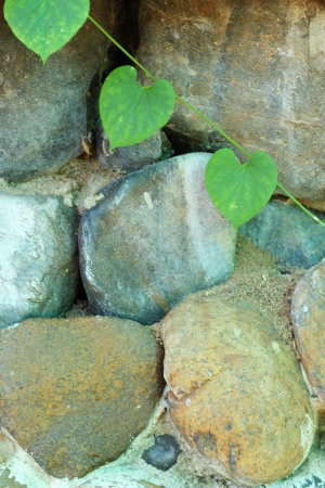 Green leaves on a stone wall. photo