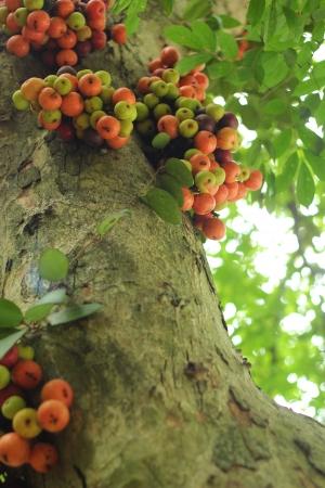 ficus: Ficus Carica Stock Photo