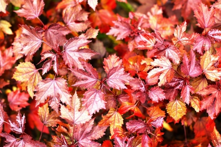 Maple leaves - Pink leaves photo