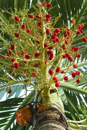 Ripe betel nut red balls - betel palm on tree. photo