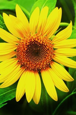 Sunflower - yellow flower photo
