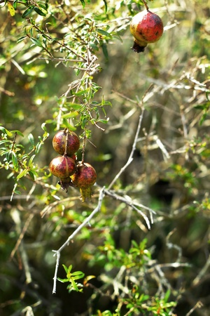 Small pomegranate trees. photo